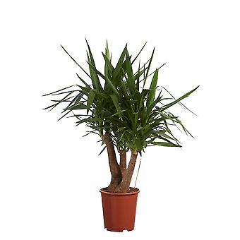 Yucca 27 cm kwekkerspot 130 cm hoog