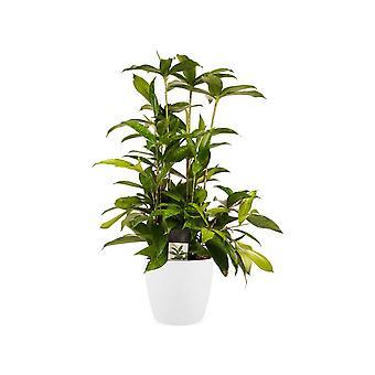 Drakenboom ↕ 55 tot 60 cm verkrijgbaar met bloempot | Dracaena surculosa