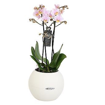 Val av grön-Phalaenopsis Amore Mio Amaglad i Lechuza Pot-Butterfly Orchid