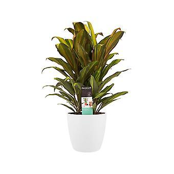 Kordulê ↕ 60 cm disponible avec jardinière | Cordyline Fruticosa Kiwi