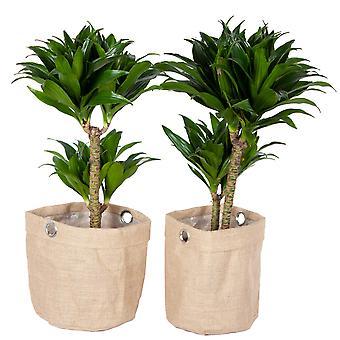 Plantas Interiores – 2 × Árvore do Dragão em saco de artilharia como um conjunto – Altura: 65 cm