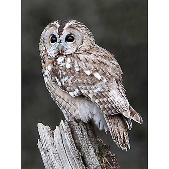 Faithful Friends Collectables Lenticular 3d Image Tawny Owl