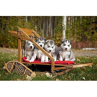 Racerene Siberian Husky hvalpe i små træ hundeslæde Alaska plakat Print (8 x 10)