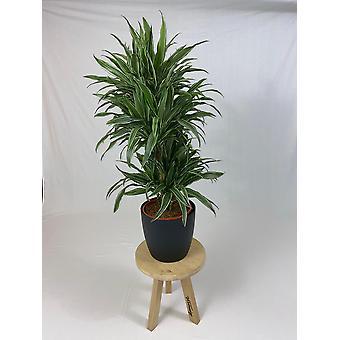 Planta Interior – Árvore dragão em vaso de planta preta como um conjunto – Altura: 120 cm