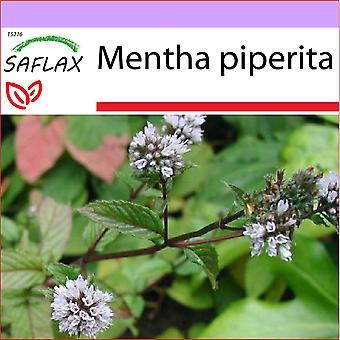 Saflax - 300 frø - peppermynte - Menthe poivrée - Menta piperita - Menta - Pfefferminze