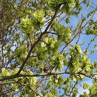 Ulmus Minor (Smalbladet Elm)-plante