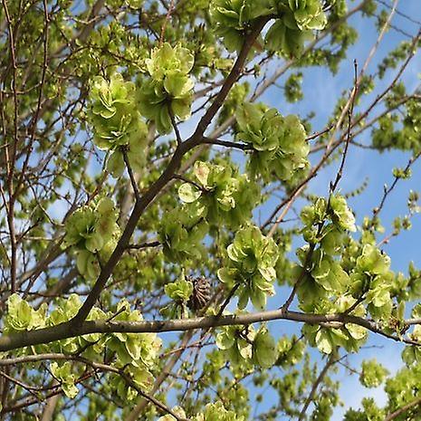 Ulmus minor (smal-leaved Elm)-plant