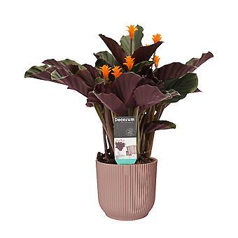 Planta Interior – Calathea crocata Candela em pote de plástico ELHO rosa como conjunto – Altura: 45 cm