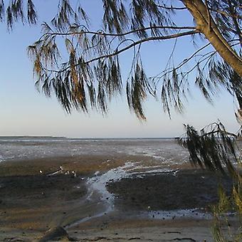 Casuarina equisetifolia (Australian pine tree) - Plant