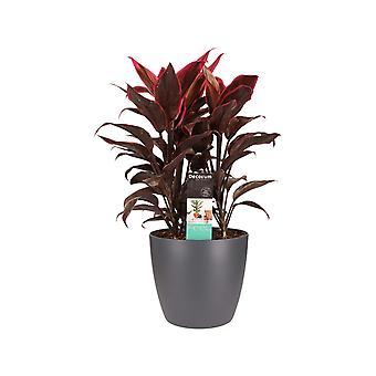 Kamerplant – Cordyline Fruticosa Mambo incl. sierpot antraciet als set – Hoogte: 60 cm