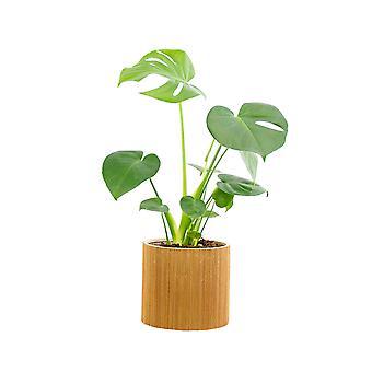 Zimmerpflanze – Fensterblatt in Seegras Übertopf als Set – Höhe: 70 cm, 1 Trieb