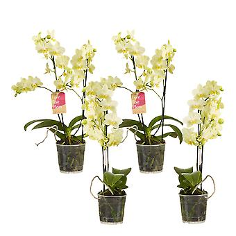 Choice of Green - Phalaenopsis multiflora Yellow - Set of 4 - Butterfly Orchid