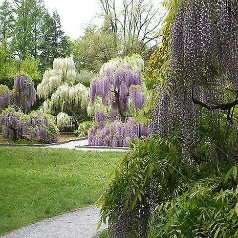 Wisteria sinensis (Chinese Wisteria) - 10 Seeds