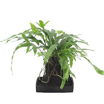 Lova® Microsorum diversifolium - Wysokość 48 cm - Garnek średnicy 17