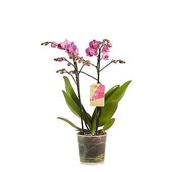 Orchidee – Schmetterlingsorchidee lila – Höhe: 50 cm, 2 Triebe, weiße Blüten