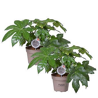 MoreLIPS® - 2X Vingerplant -hoogte ↕ 40-45 cm - potdiameter: 15 cm - luchtzuiverende kamerplant - Fatsia japonica