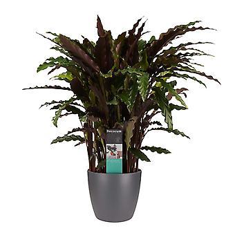 Plantas Interiores de Botanicamente – Calathea Elgergrass em vaso de planta antracito como conjunto – Altura: 50 cm