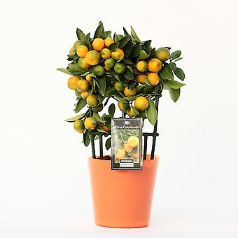 Planta de Frutas de Botanicamente – Citrus Calamondin – Altura: 35 cm