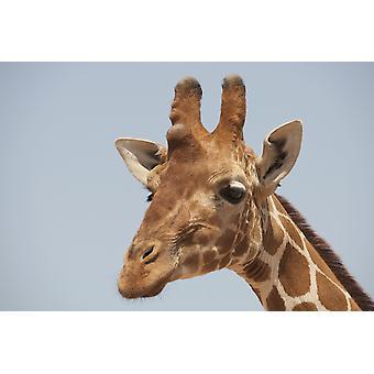 Giraffe PosterPrint