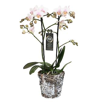 Choice of Green - Phalaenopsis Amore Mio Amaglad in Soft in wooden pot - Butterfly Orchid