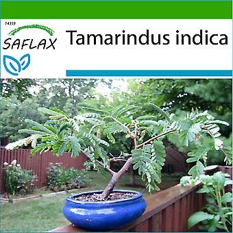 Saflax - 4 Samen - mit Boden - Bonsai - Tamarind - Dattier d'Inde - Tamarindo / Dattero dell'India - Tamarindo - B - Tamarinde