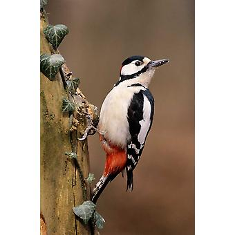 Great Spotted Woodpecker adult on tree trunk Europe Poster Print by Frits Van Daalen