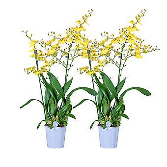 MoreLIPS® - Orkidea - 2X Oncidium 'Munsterland' - 2 haaraa - kasvavassa potissa - korkeus 45-55 cm
