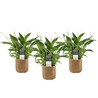 Fredslilja ↕ 40 till 40 cm tillgänglig med planter | Spathiphyllum wallisii Bellini