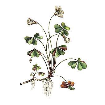 Botanica Ii Poster Print przez Incado