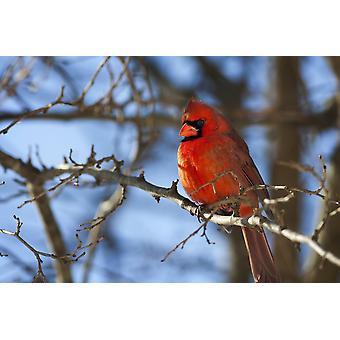 Vivido Cardinale rosso (Cardinalis cardinalis) seduto su un ramo di albero con un bel cielo blu sullo sfondo Kentucky Stati Uniti d'America PosterPrint