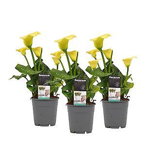 Bloemen van Botanicly – 3 × Zantedeschia aethiopica – Hoogte: 40 cm