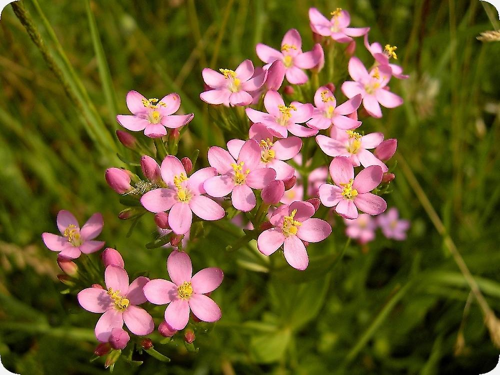 Saflax - Gift Set - 250 seeds - Common Centaury - Petite-centaurée commune - Centaurea minore - Centáurea menor - Tausendgüldenkraut
