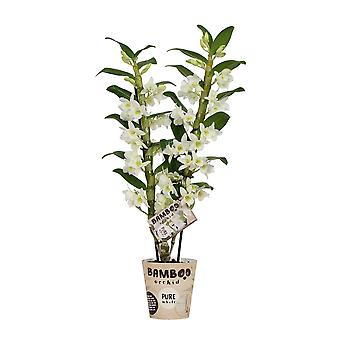 Orchid – Bamboo Orchid – Korkeus: 50 cm, 2 vartta, valkoisia kukkia