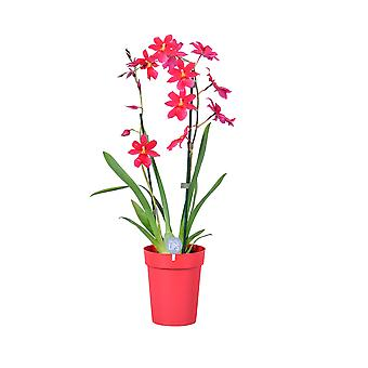 MoreLIPS® - Orchid- Cambria 'Nelly Isler' - 2 tak - in rode plastiek decopot - hoogte 50-60 cm - Your Green Present