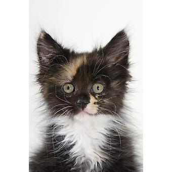 Kätzchen PosterPrint