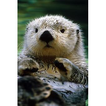 Nutria de mar piscina en Tacoma Zoo cautivo PosterPrint