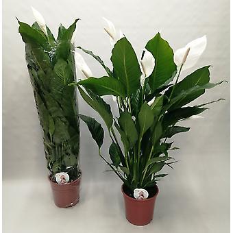 Roślina w pomieszczeniach z Botanicly – Lilia pokoju – Wysokość: 141 cm – Spathiphyllum Sweet Sebastiano