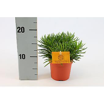 Senecio ↕ 10 till 25 cm tillgänglig med planter | Senecio Archeri Himalaya