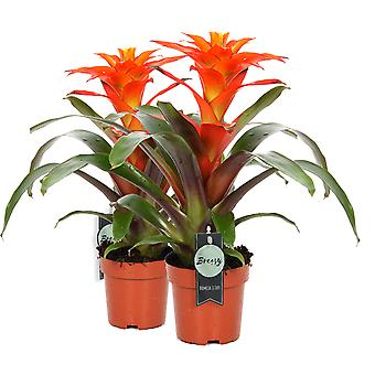 Bromelia Guzmania Fiero orange 2 pieces - Height 46 cm - Diameter pot 12 cm