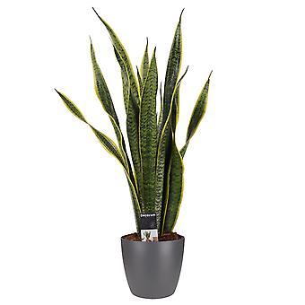 Kamerplant – Vrouwentongen incl. sierpot antraciet als set – Hoogte: 60 cm