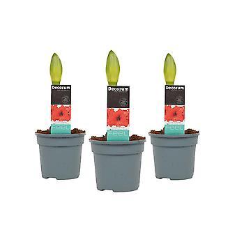 Blomster fra Botanicly – 3 × Jersey lilje – Højde: 25 cm – Hippeastrum Tropical Orange