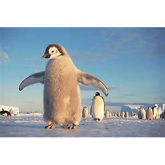 Emperor Penguin chick on fast ice No-name Rookery Princess Martha Coast Weddell Sea Antarctica Poster Print by Tui De Roy
