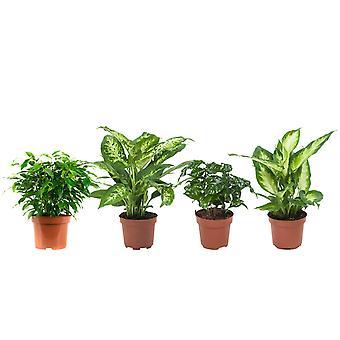 BOTANICLY Ficus Green Kinky, Kahvikasvi, Dieffenbachia compacta ja camilla