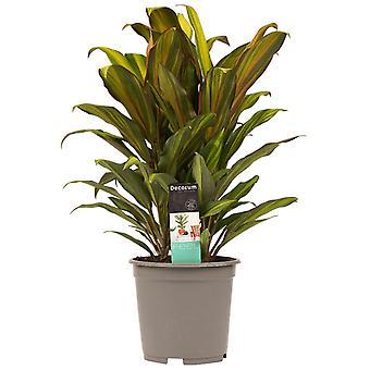 Kamerplant van Botanicly – Cordyline Fruticosa Kiwi – Hoogte: 60 cm