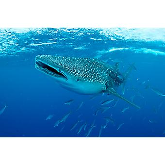 Whale shark swimming with mouth open Maldives Poster Print by Mathieu MeurStocktrek Images