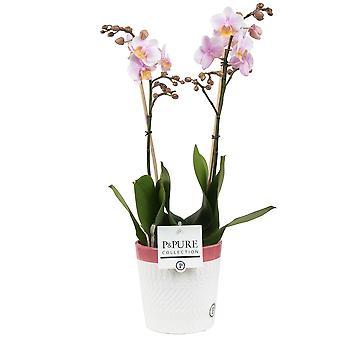 BOTANICLY Phalaenopsis Amaglad - Vlinder orchidee
