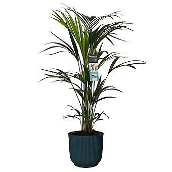 Pianta d'appartamento – Kentia in ELHO vaso di plastica blu come set – Altezza: 90 cm