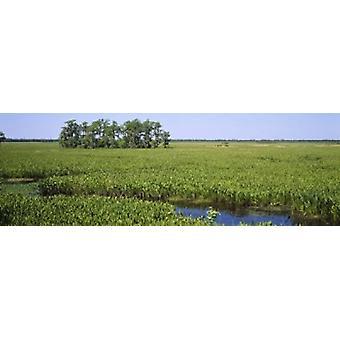Pflanzen auf einem Feuchtgebiet Jean Lafitte nationaler historischer Park und bewahren New Orleans Louisiana USA Poster Print