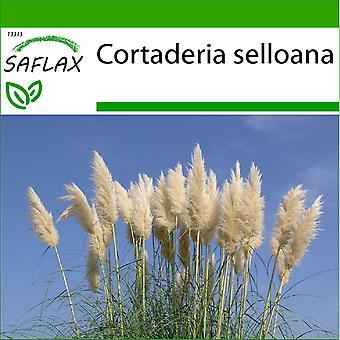 Saflax - 200 semi - con terreno - ginerio americano - Herbe de la pampa - Erba delle Pampas - Hierba de las Pampas - Amerikanisches Pampasgras