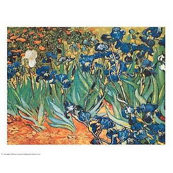 Iris Garden Poster Print by Vincent Van Gogh (30 x 24)